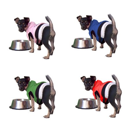 Cute tiny 2 pound Chihuahua puppy in four different color sweaters. photo