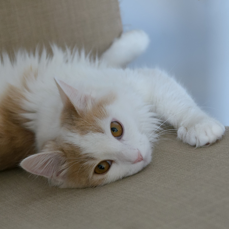 Beige white cat lies in the armchair. Playful, observes