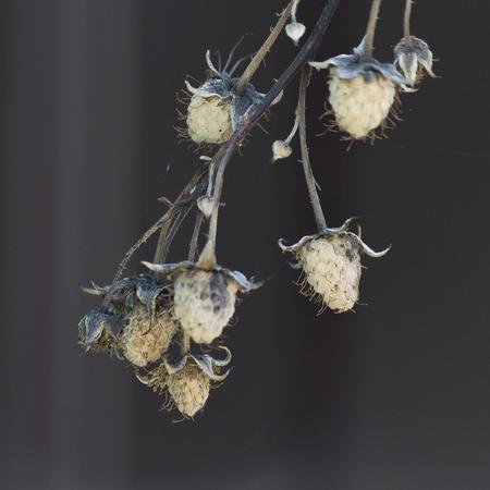 Dry branch of raspberry dried berries. Dark background. Macro