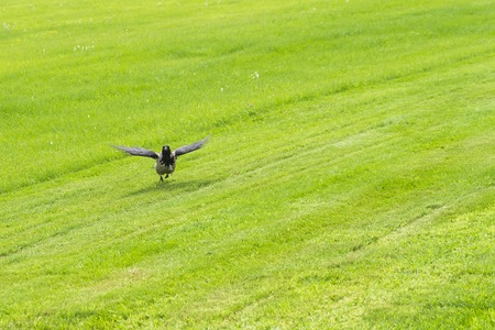 Raven flies to the field of green grass on a sunny day. Reklamní fotografie