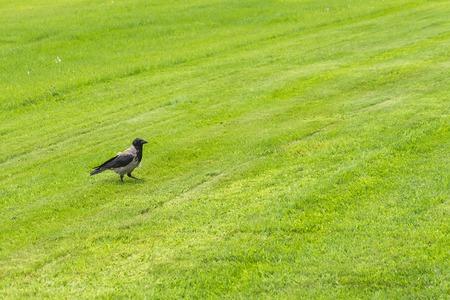 A crow walks on a field of green grass on a sunny day. Reklamní fotografie