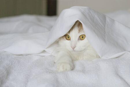A white beige cat peeks out from under the covers. Close-up on a white background