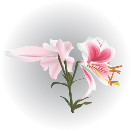 Element of decor, flower lily. A white and pink branch of flowers.  Stalk with flowers and bud.  Elegant, delicate flowers. Isolated. White background Illustration