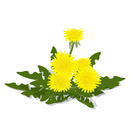 Realistic meadow flower dandelion with leaves. Yellow flower on a white background. Spring, summer flower. Isolated. Element of decor Иллюстрация