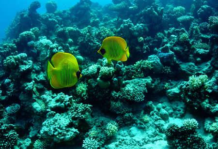 chaetodon: Masked butterflyfish (chaetodon larvatus) taken in the Red Sea.