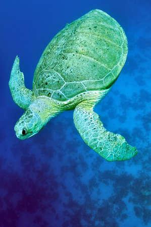 chelonia: Green Sea Turtle cruising through blue water.  (Chelonia mydas)  Stock Photo