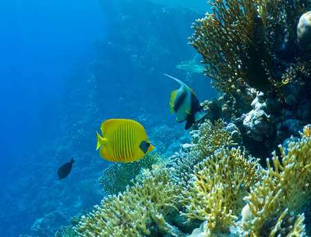 bannerfish: wildlife, underwater landscape. coral reef and tropical fish.