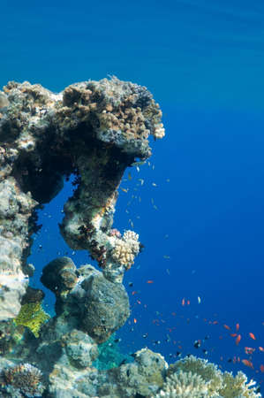 reefscape: coral reef, an underwater landscape. Wildlife of the Red Sea.