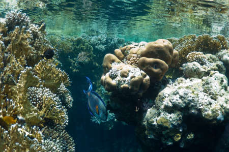 sohal: coral reef and tropical fish, underwater landscape. wildlife in Red Sea.