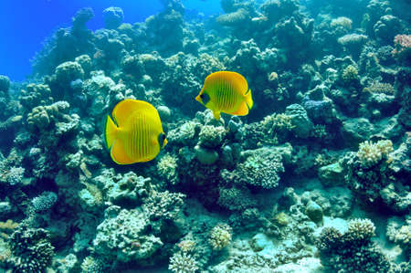 chaetodon: pair of bright yellow fish on the background of a coral reef. Masked butterflyfish (chaetodon larvatus)