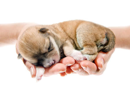 protection hands: Hands holding brown puppy, 10 days age, isolated on white background.