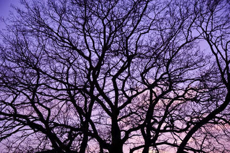 Sunset with silhouette of leaf-less tree. Branch pattern.