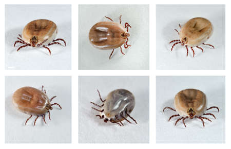 Ixodes ricinus. Dog ticks (female) from different angles. Carrier of disease.