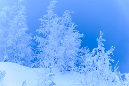 snow  snowy: Beautiful landscape with trees covered by snow. Cold day in the snowy winter forest. Toned.