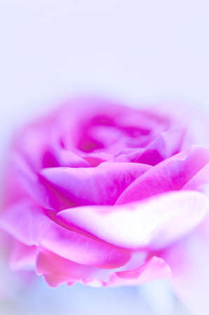 Closeup of pink purple roses soft blur bokeh texture in pastel colors for a background. Copy space.