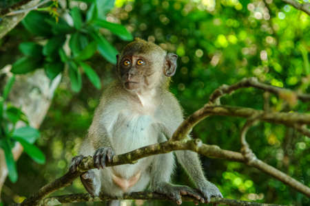 Cute young monkey with brown eyes siton the tree clinging to a branch in a natural forest. Looking at something. Close-up with focus on primate. Jungle Thailand. Wildlife. Travel.