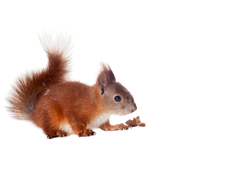 Eurasian red squirrel - Sciurus vulgaris isolated white background