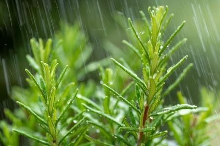 Świeże Rosemary Herb, makro z kroplami wody w ruchu. Zdjęcie Seryjne