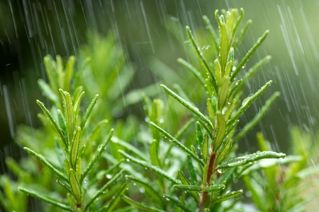 Fresh Rosemary Herb, close-up with water drops in motion. Standard-Bild
