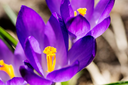 Purple crocuses on flowerbed background. Imagens