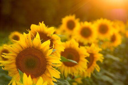 Sunflower field at sunset. Filtered effect