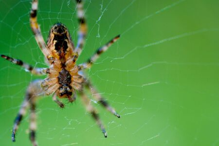 The european garden spider (Araneus diadematus) sitting in the spider net on green background and selective focus.