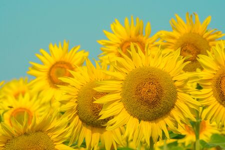 field of blooming sunflowers on a background