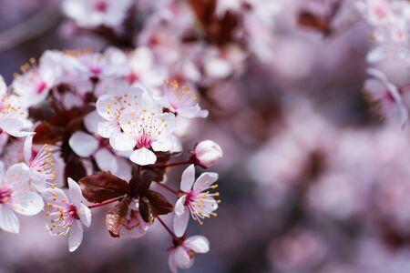 Sakura season or Hanami. Abstract Sakura Background. Cherry Blossom, soft focus, Texture, Background.