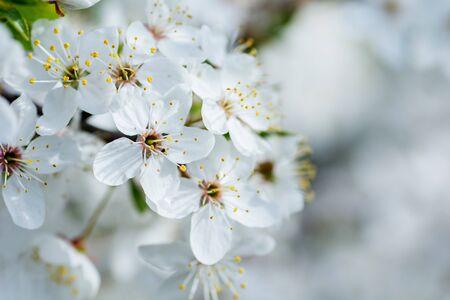 Flowers of the cherry blossoms on a spring day Zdjęcie Seryjne
