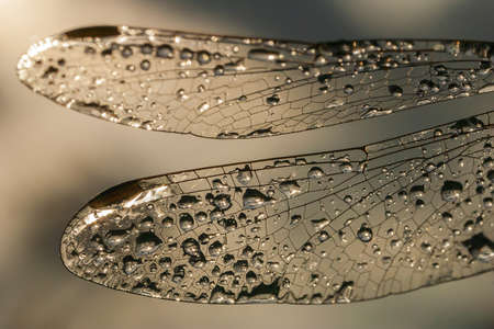 dragonfly wings: summer morning dew on a dragonfly wings