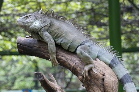 Green Iguana Stock Photo - 10430377