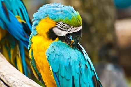 loros verdes: colorido guacamayo