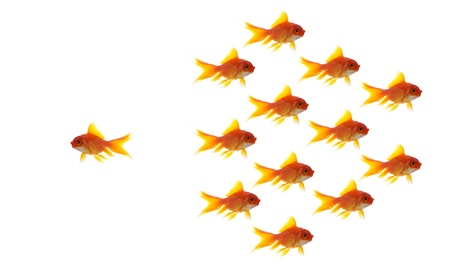 leadership training: goldfish group leader isolated on white background, unique and diffrent business concept Stock Photo