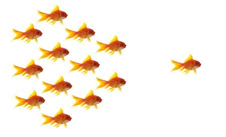 peces de colores: peces de colores líder en el fondo blanco, concepto de negocio único y diferente