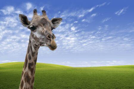 muck: Close up of a Giraffe