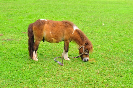 miniature breed: Caballo miniatura comer hierba en el campo