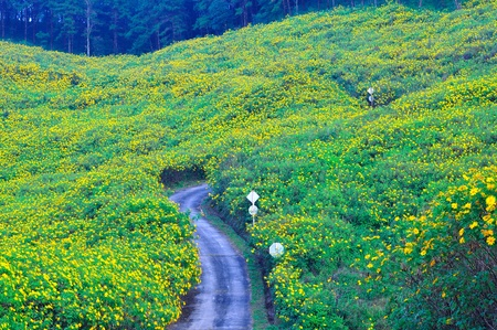 Tung Bua Tong (Mexican sunflower weed valley) in Maehongson, Thailand.  photo