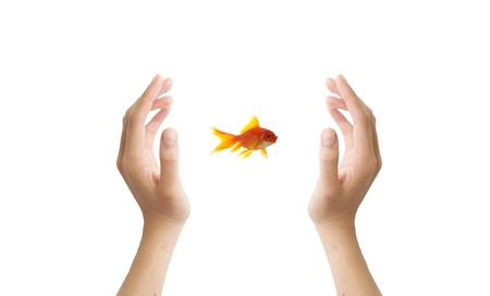 goldfish leader on white background, unique and diffrent business concept Stock Photo - 11568559