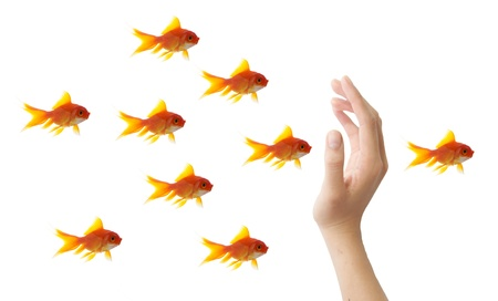 goldfish leader on white background, unique and diffrent business concept Stock Photo - 11568575