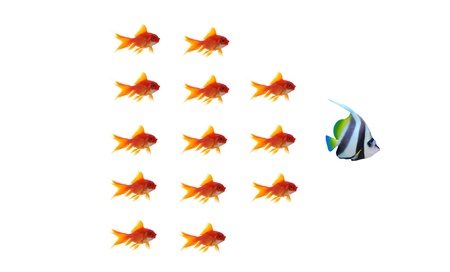 goldfish leader on white background, unique and diffrent business concept Stock Photo - 11568569