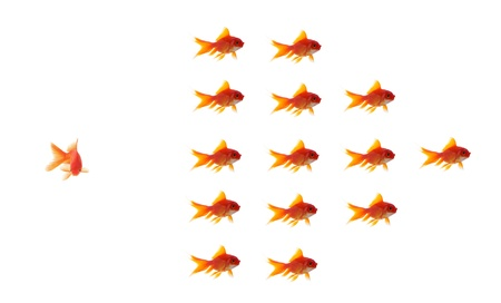 goldfish leader on white background, unique and diffrent business concept Stock Photo - 11568568