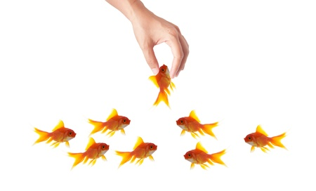 goldfish leader on white background, unique and diffrent business concept Stock Photo - 11568572