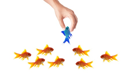 goldfish leader on white background, unique and diffrent business concept Stock Photo - 11568573
