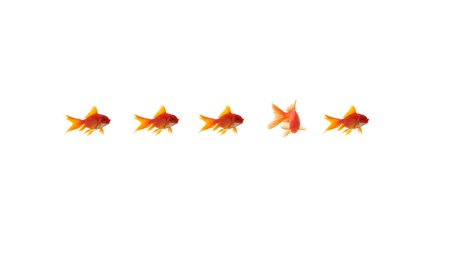 goldfish leader on white background, unique and diffrent business concept Stock Photo - 11568554