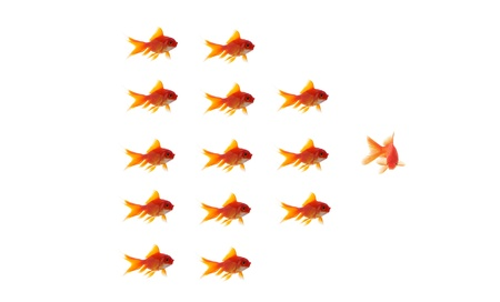 goldfish leader on white background, unique and diffrent business concept photo