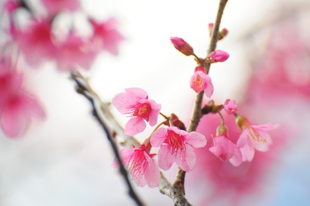 Pink Prunus cerasoides flower Stock Photo - 11749192