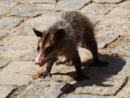 Angry Virginia Opossum wandelen op de grond