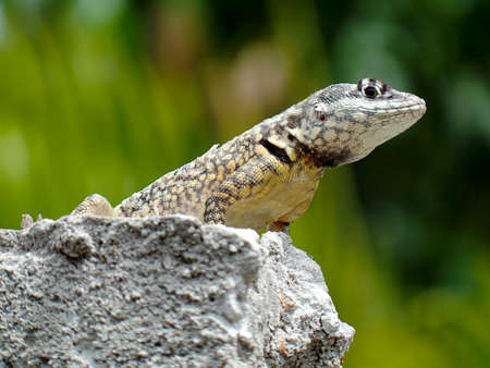 small reptiles: Beautiful gecko standing over the wall