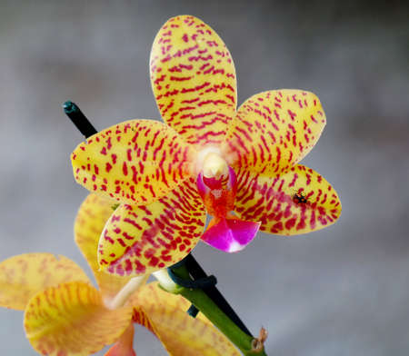 charmer: Yellow Orchidaceae Phalaenopsis Charmer in the garden