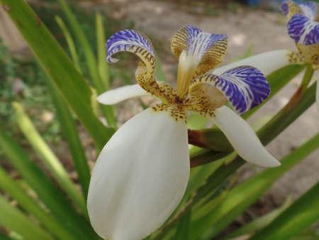 Brazilian Neomarica Candida flower in the garden.